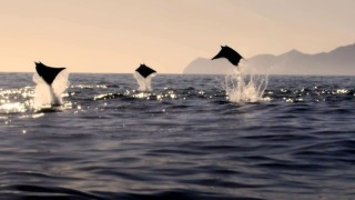 Mobula Rays belly flop to attract a mate